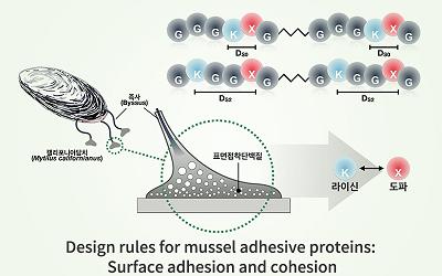 The Secret of Strong Underwater Mussel Adhesion Revealed